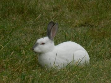 Lapin blanc en liberté